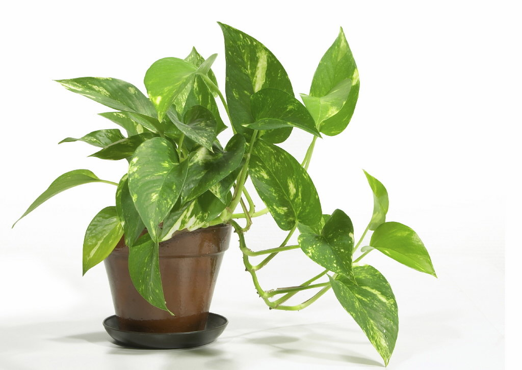 indoor plants - House Plant Identification Guide By Picture